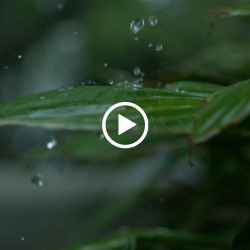 实拍 雨水滴落在树叶上慢动作延时 MOV
